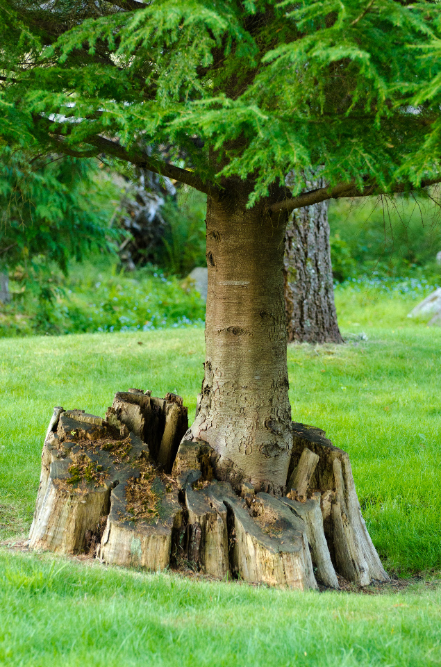 Nursery Stump