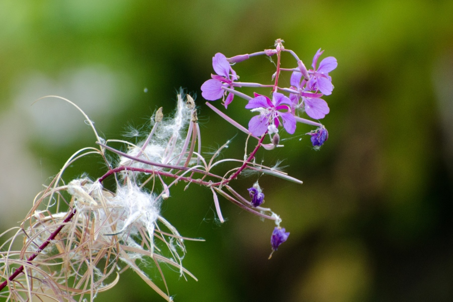 Fireweed at the end of its blooming cycle (autumn is just around the corner)