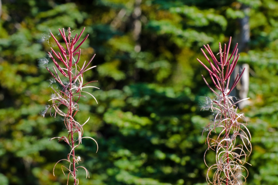 Sure sign of autumn (Fireweed has finished blooming)