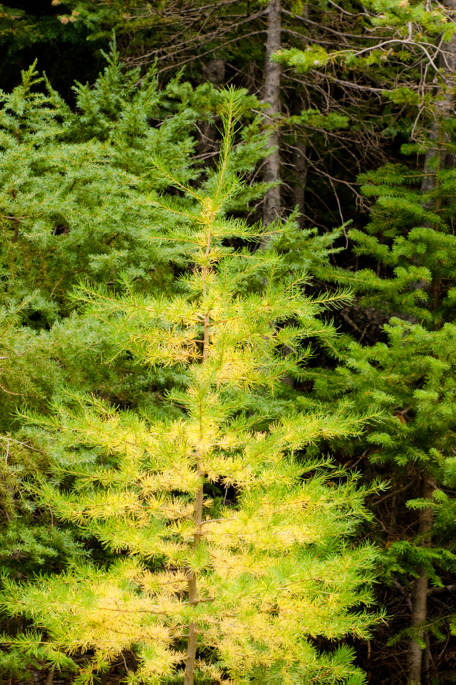 Tamarack needles turning golden, a sure sign of autumn
