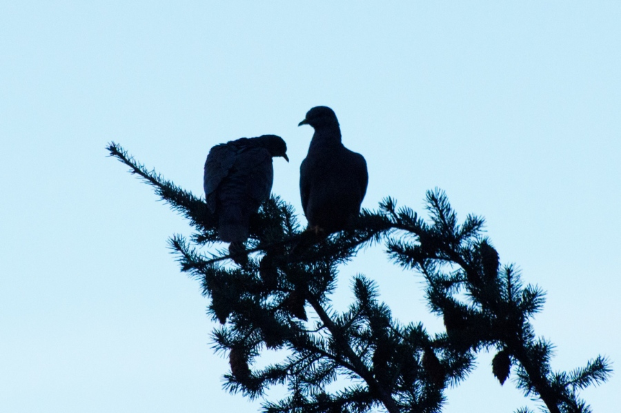 Band-tailed Pigeons silhouetted in the early-morning light