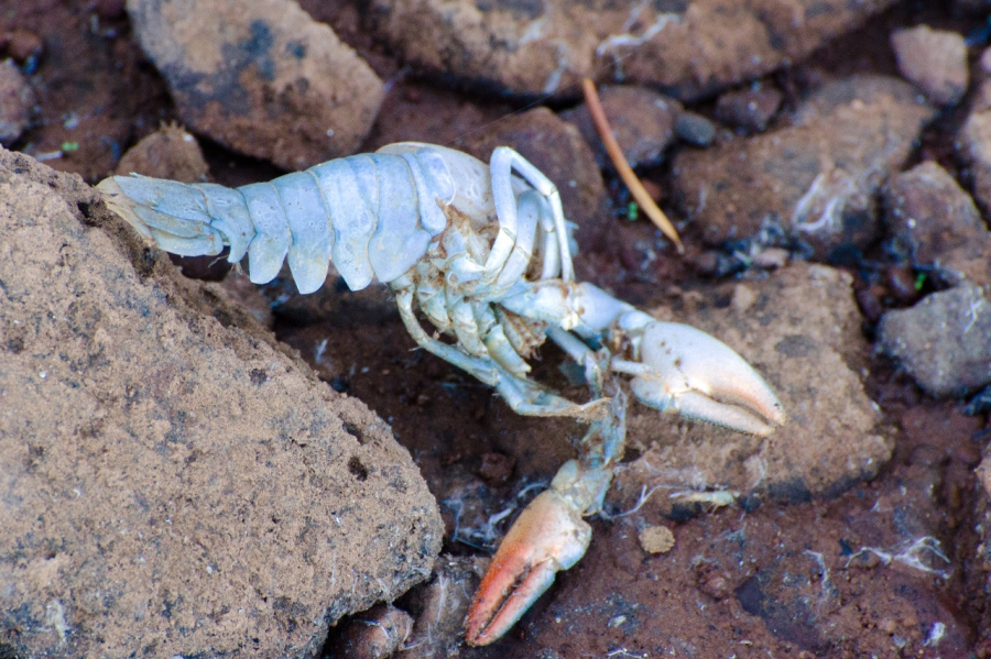 Remains of a Crawdad (Timothy Lake has many Crawdads))