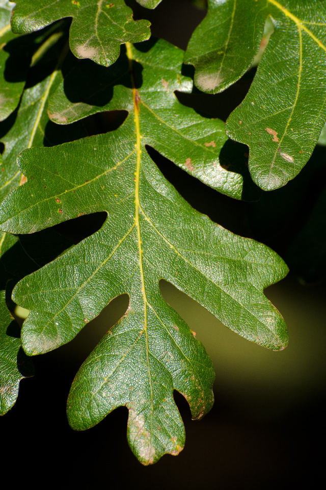 Oak leaf about ready to turn