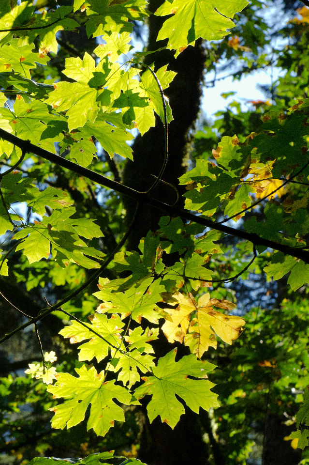 Maple leaves beginning to turn color