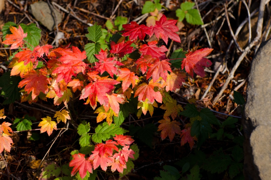 Colorful Vine Maple leaves