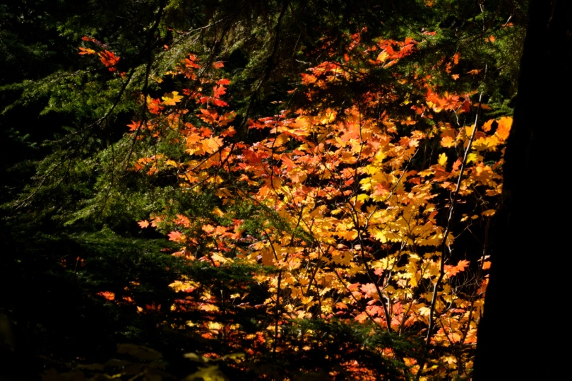 Vine Maple leaves bring vibrant color to the forest views