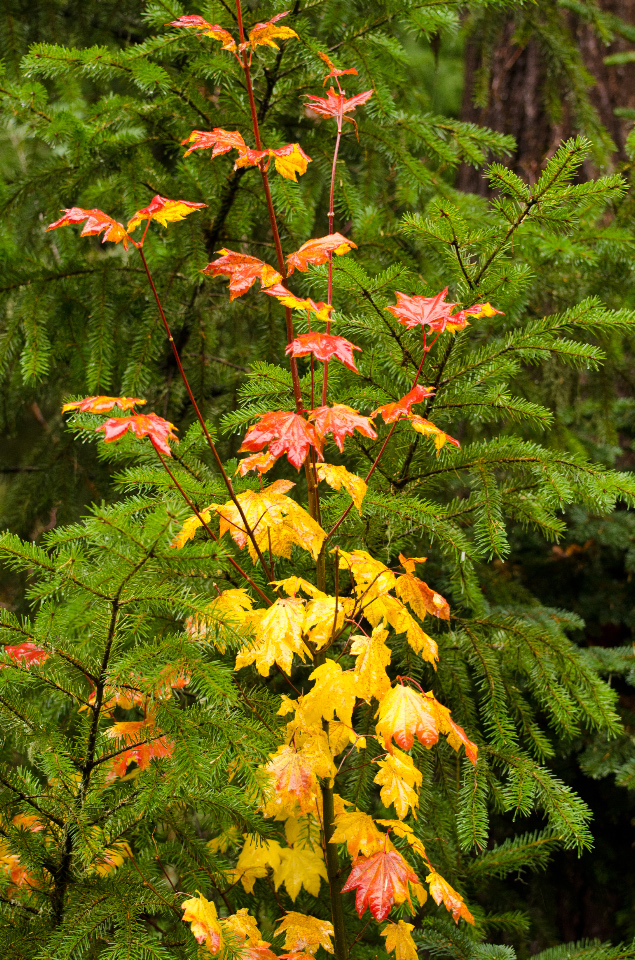 Vine Maple leaves