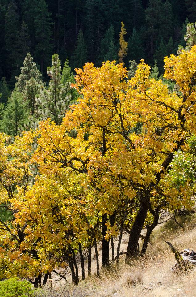 Wonderful fall colors of Oak trees