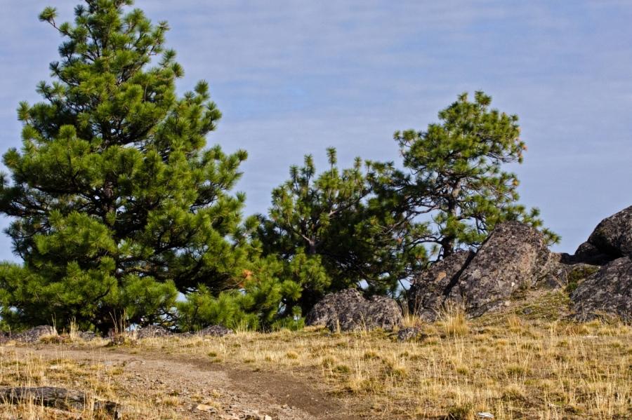 Ponderosa Pine growing on the open ridge tops