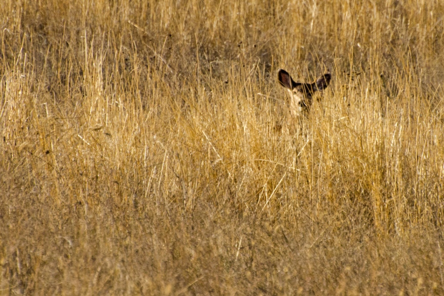 "Blacktail Doe ""hiding"" from me"