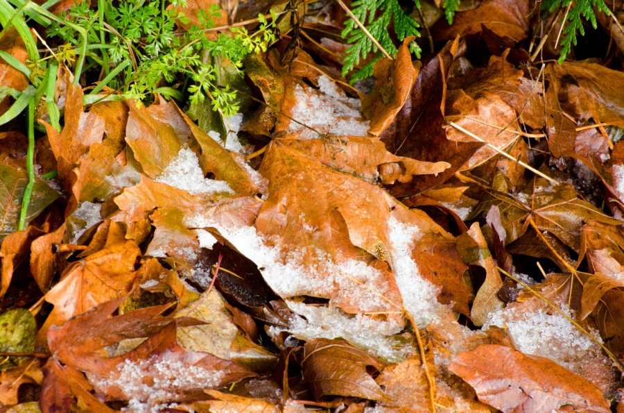 A skiff of fresh snow on the fallen leaves