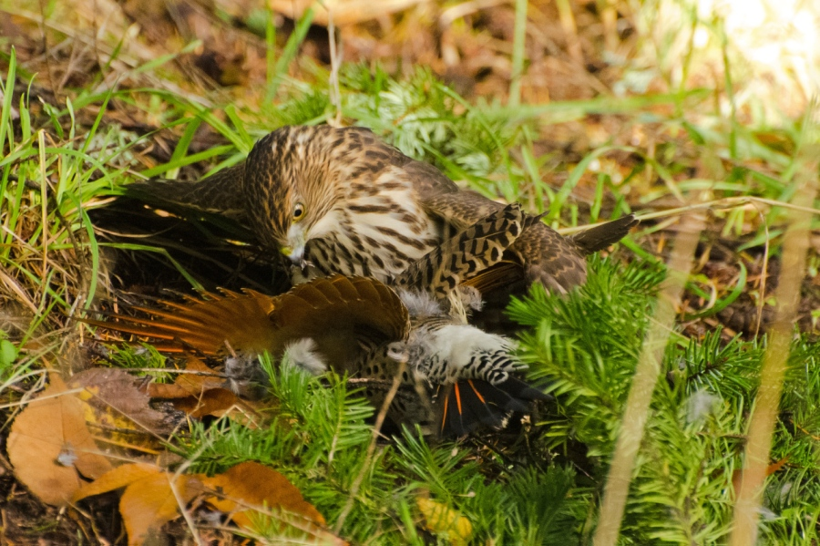 Cooper's Hawk subduing a Flicker