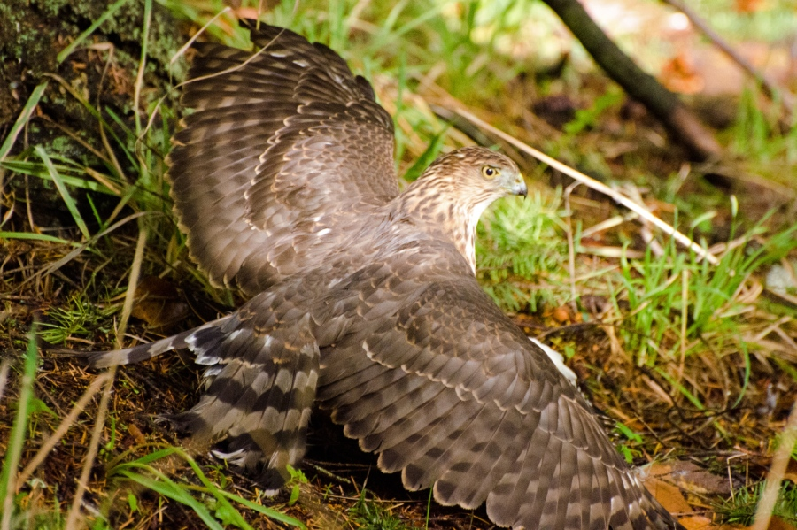 Good view of the Cooper's Hawk