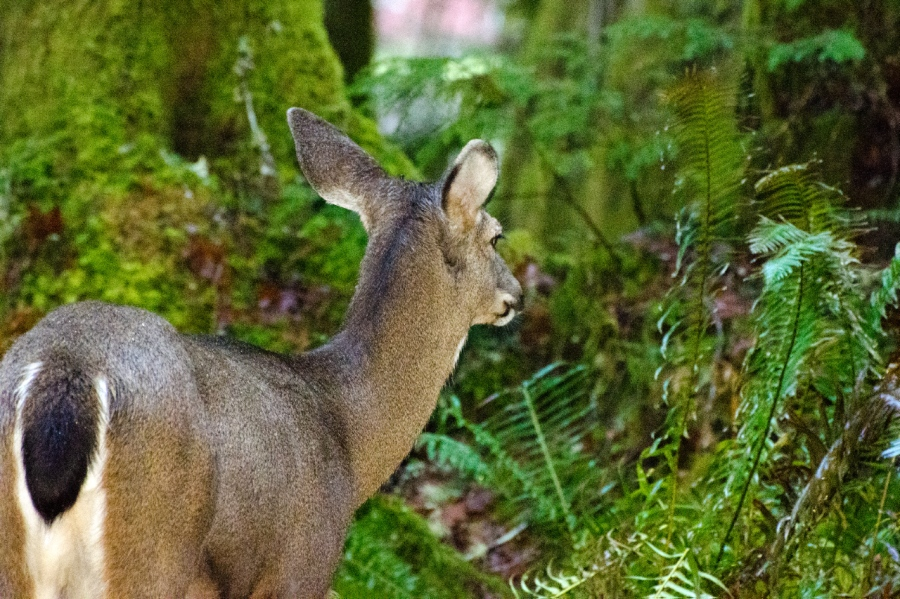 I snuck up very close to this Blacktail Doe (since it was do dark due to the rainstorm, many of the photos were shot at an ISO oft 5000)