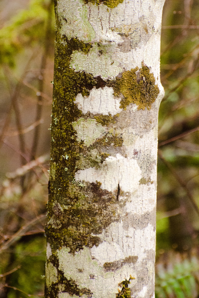 Interesting bark of a Red Alder