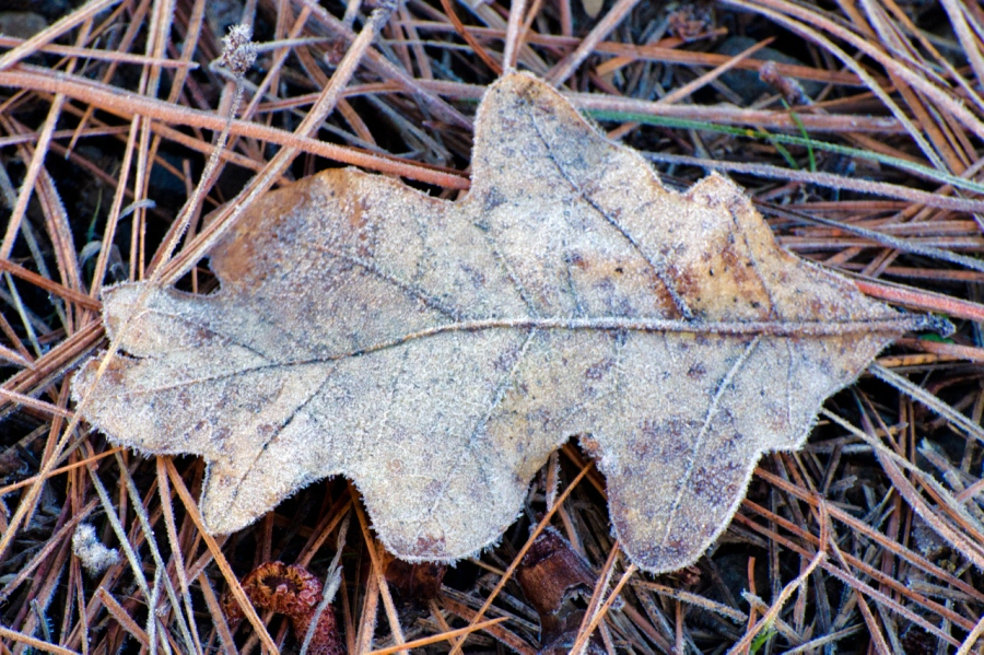 Frost on a fallen Oak leaf