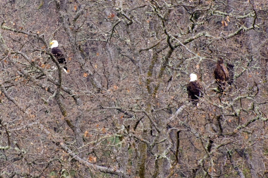 Bald Eagles taking a break from the dead salmon smorgasbord