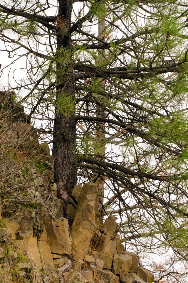Ponderosa Pine growing out of the side of a large boulder