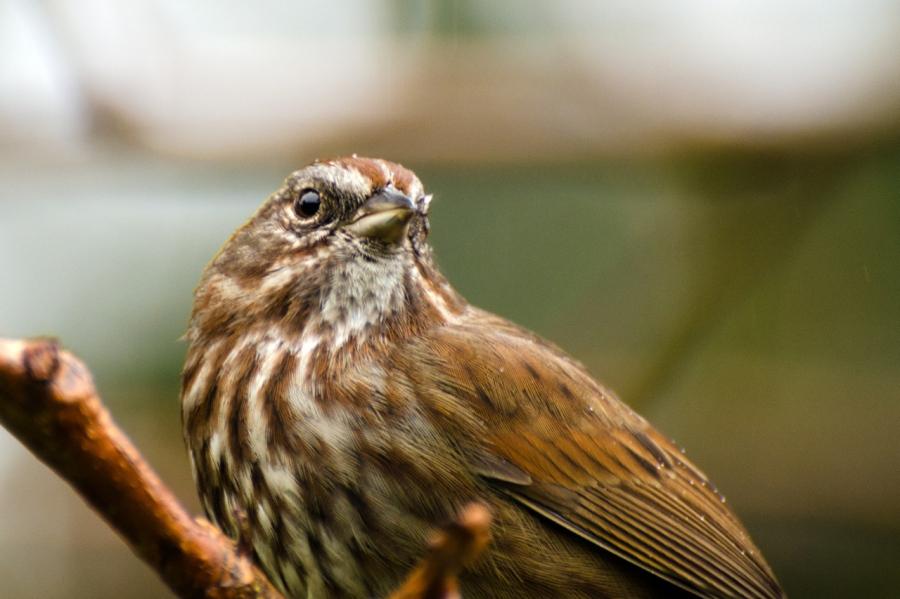 Pensive Song Sparrow