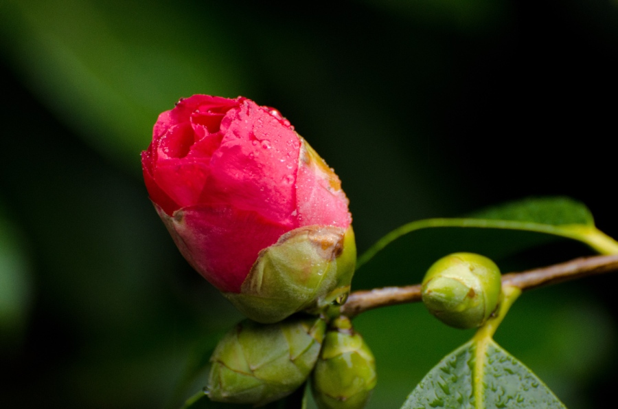 A colorful bud ready to burst