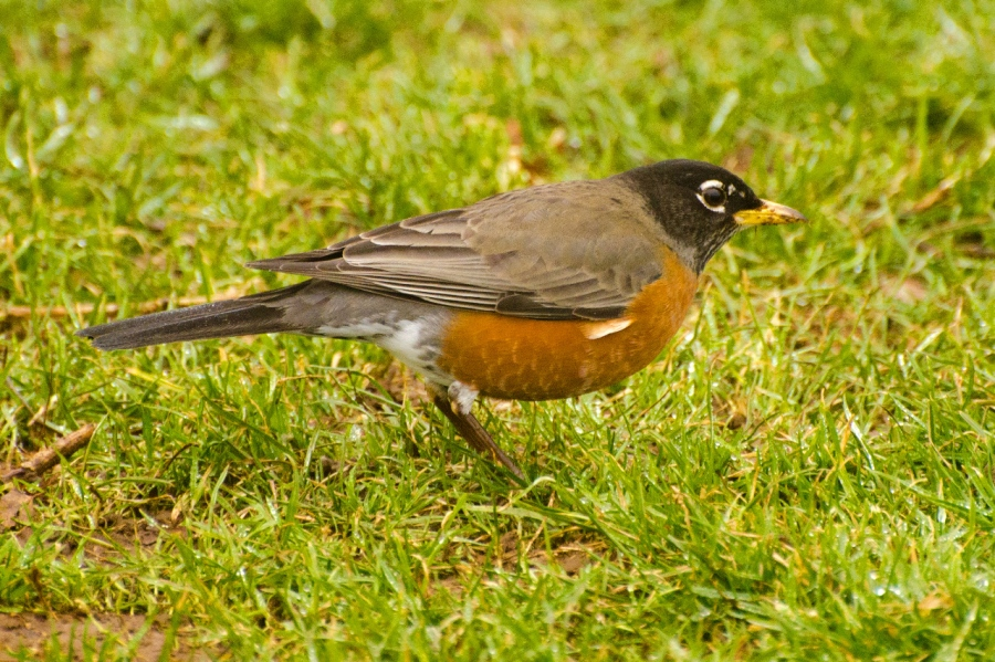 American Robin on the search for a tasty worm