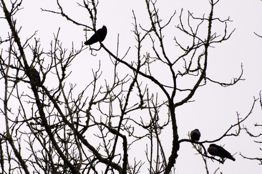 A common sight (a murder of young raucous crows)