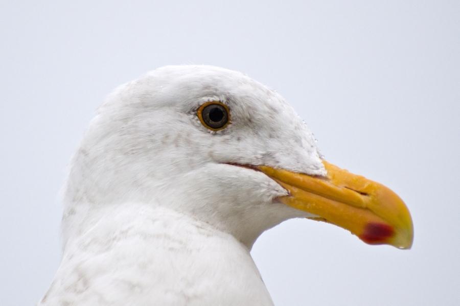A pensive Gull