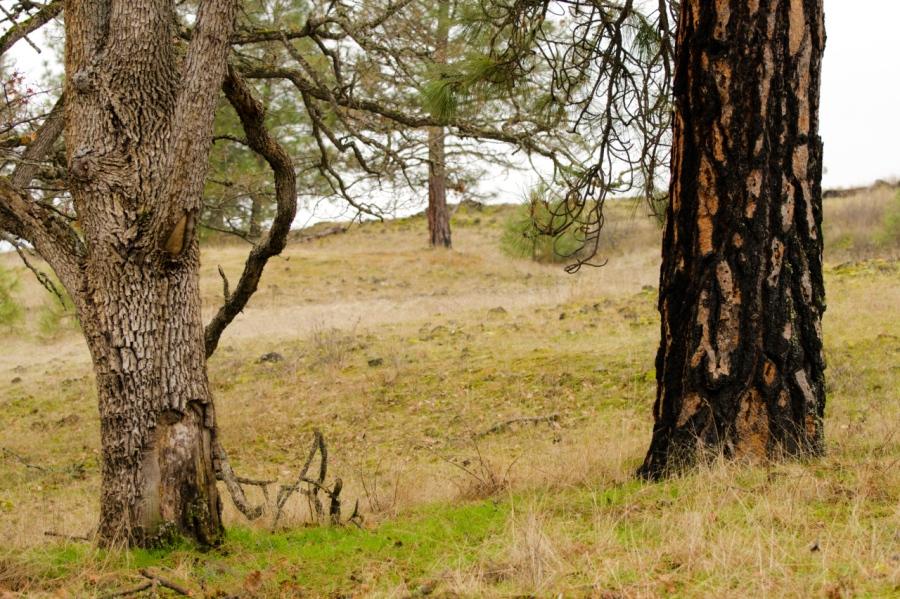 White Oak and Ponderosa Pine trees in the grassy savannah