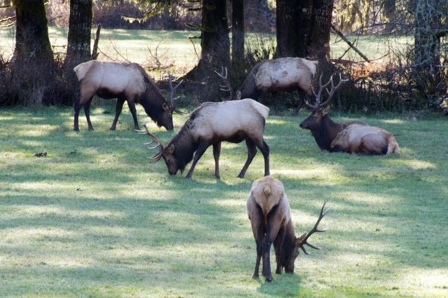A gaggle of Bull Elk