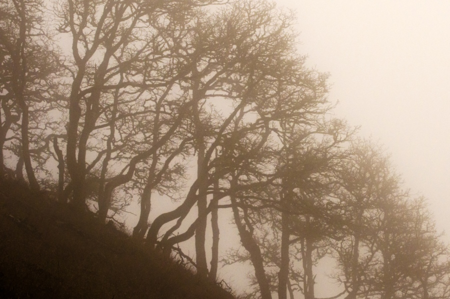 White Oak trees in the fog