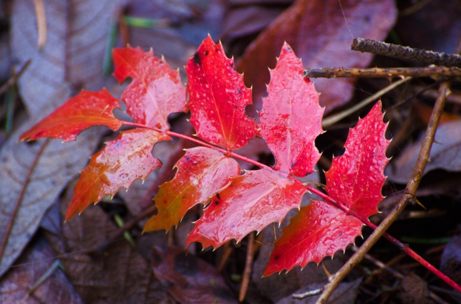 Autumn colors of Oregon Grape leaves