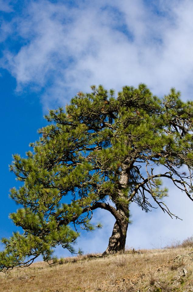 Majestic Ponderosa Pine