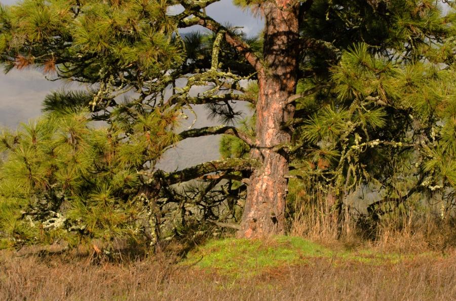Mature Ponderosa Pine