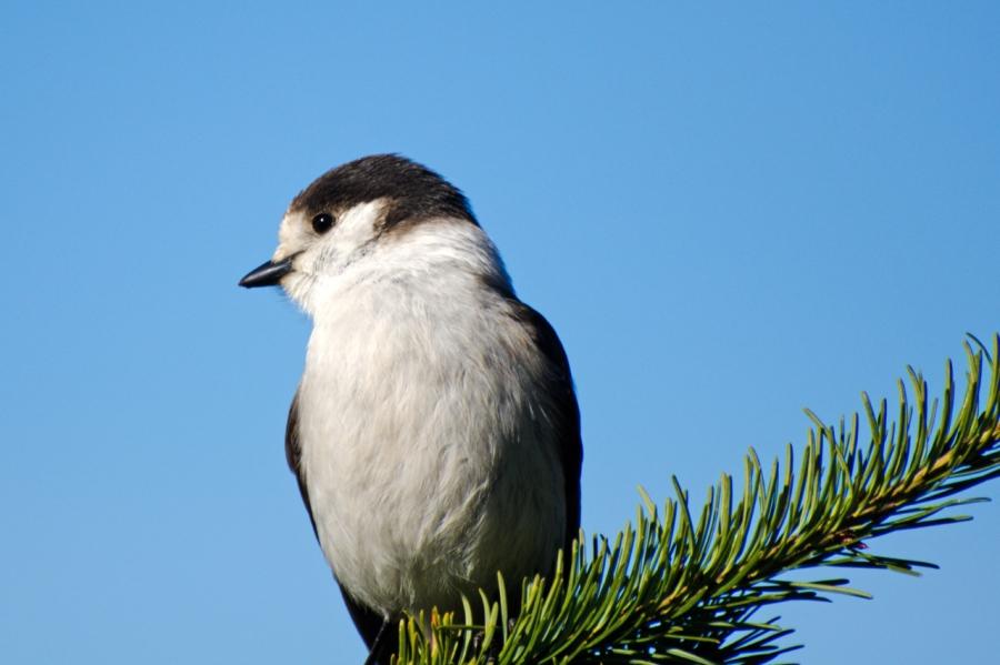 A friendly Gray Jay