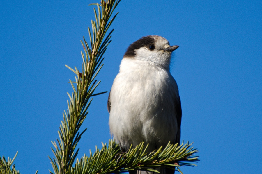 Another Gray Jay looking for a treat
