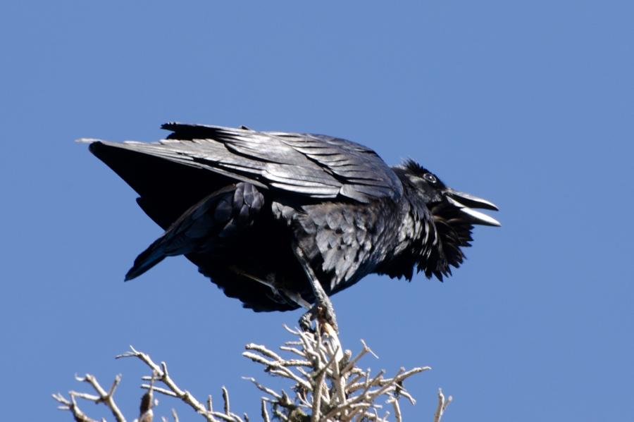 A Raven keeping me company