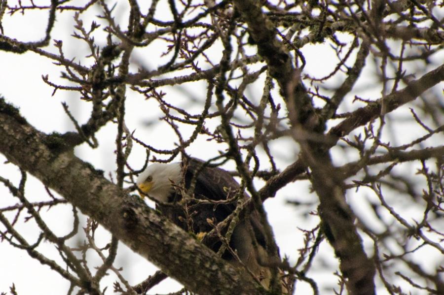 A Bald Eagle keeping a close eye on me