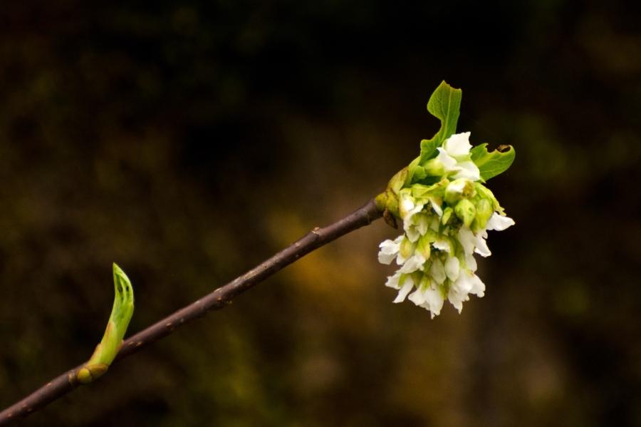 Indian Plum Blossum