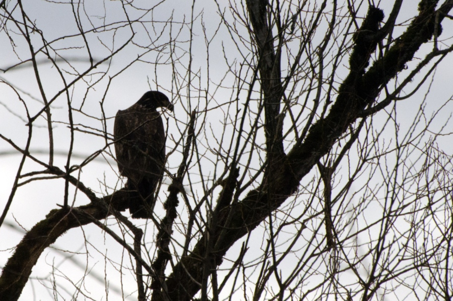 An immature Bald Eagle silhouetted