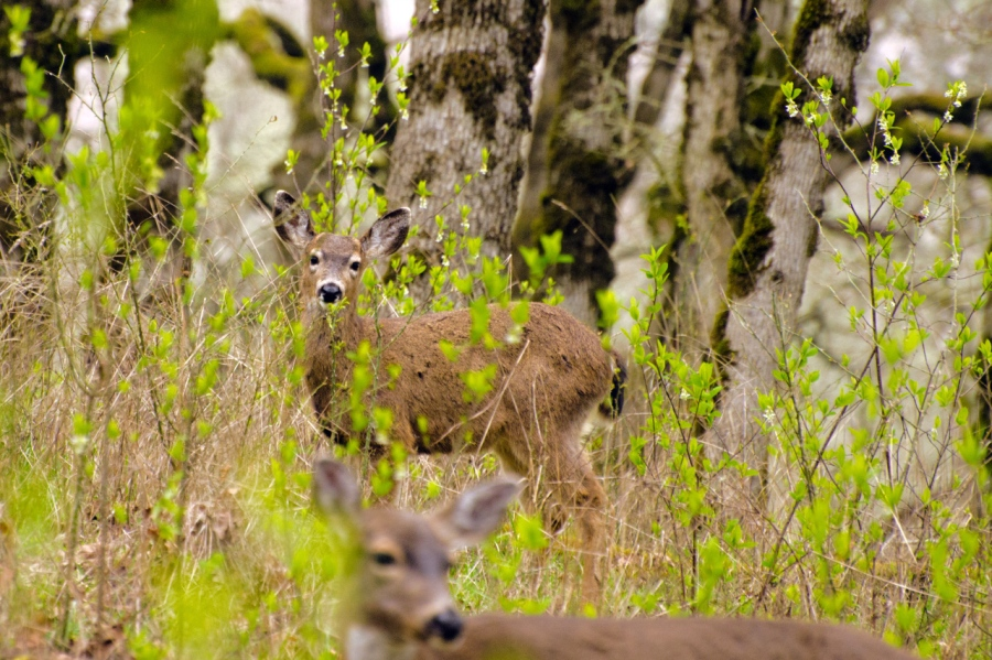 Yearling Blacktail Deer near its mom