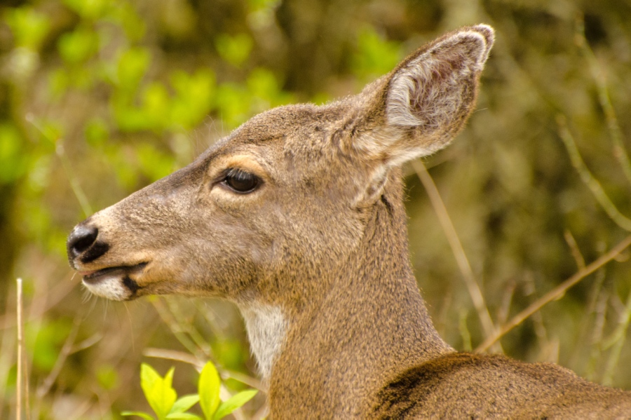 Up close and personal with a Blacktail Deer