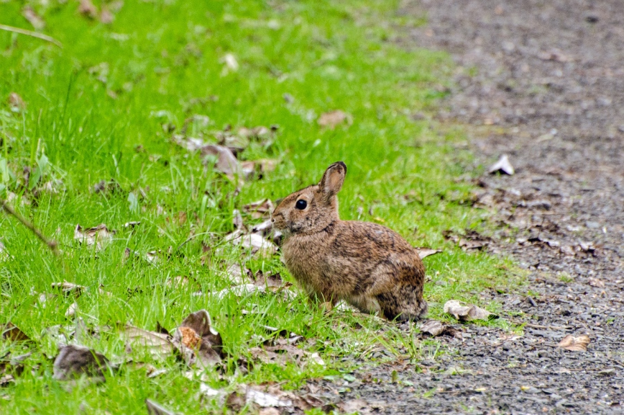 Bunny along the trail