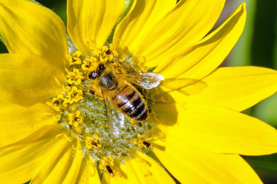 Honeybee covered in pollen enjoying a balsamroot