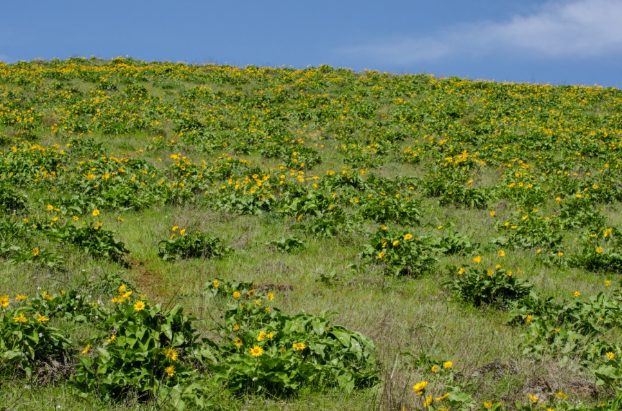Balsamroot covering the slopes of the higher Memaloose Hill