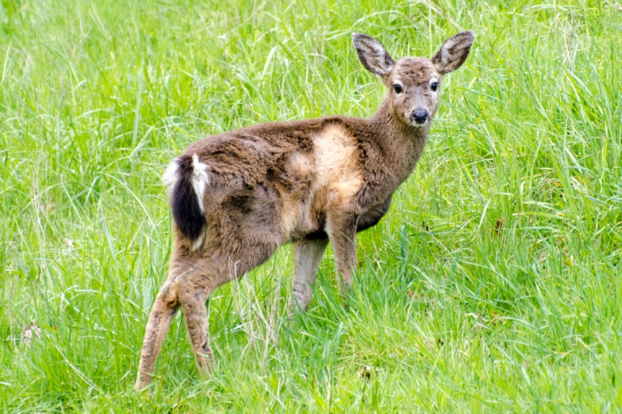 Blacktail Deer Yearling