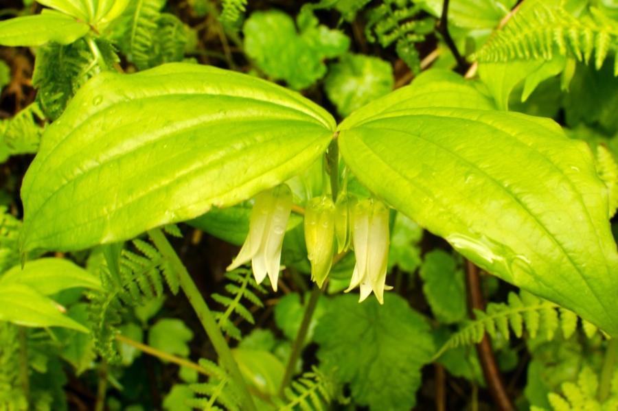Fairy Lanterns (Wild Lilies)