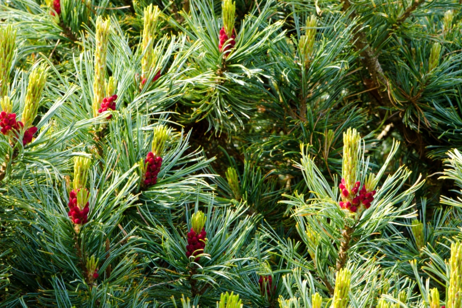 Colorful Pine Candles