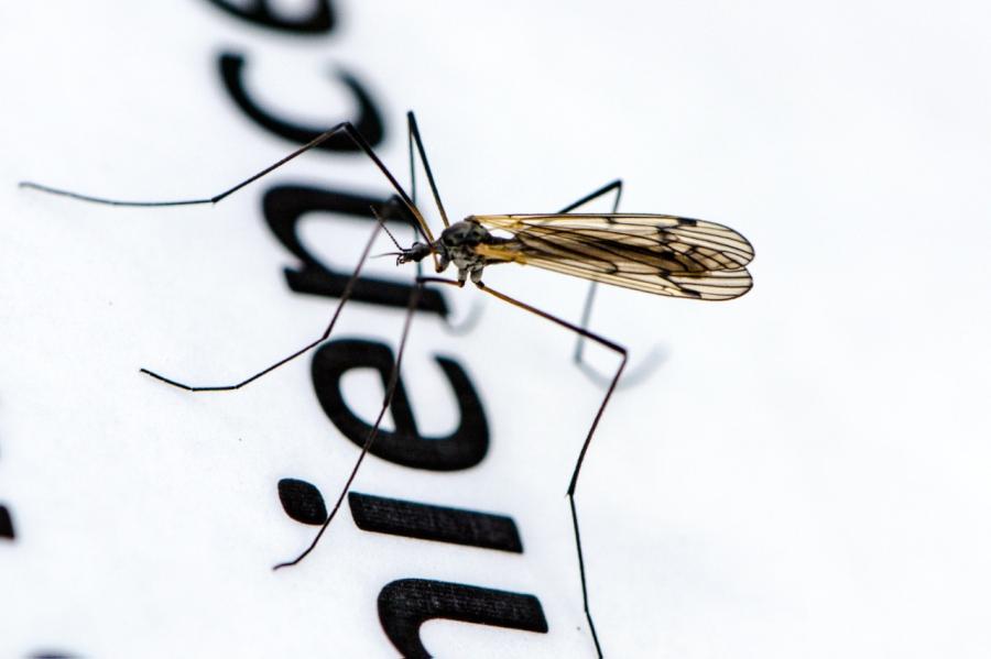 Mosquito on stilts?