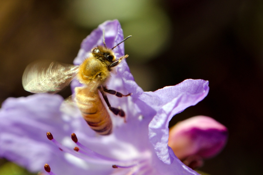 Honey Bee in motion