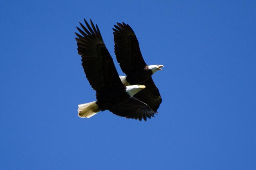 Oak Island Bald Eagles are back home toroost